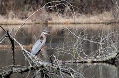 伟大蓝色的苍鹭的巢,桑迪小河自然中心,乔治亚 库存照片