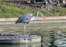 伟大蓝色的苍鹭的巢,霍尔公园, Frisco,得克萨斯 库存图片
