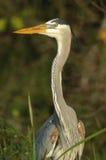 伟大蓝色的苍鹭的巢, (Ardea herodias) 库存图片