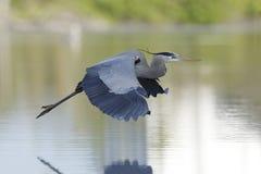 伟大蓝色的苍鹭的巢-在飞行中Estero海岛,佛罗里达 库存照片