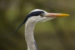 伟大蓝色的苍鹭的巢-外形顶头射击 免版税库存图片