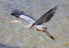 伟大蓝色的苍鹭的巢离开 免版税库存照片