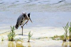 伟大蓝色的苍鹭的巢(抓) 免版税库存照片