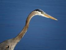 伟大蓝色的苍鹭的巢画象特写镜头 免版税图库摄影