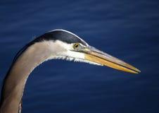 伟大蓝色的苍鹭的巢画象特写镜头 库存照片