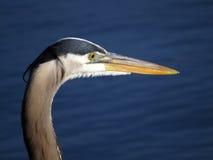 伟大蓝色的苍鹭的巢画象特写镜头 图库摄影
