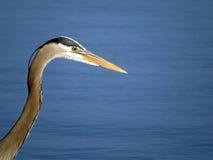 伟大蓝色的苍鹭的巢画象特写镜头 免版税库存图片