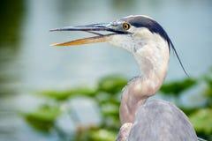 伟大蓝色的苍鹭的巢画象 免版税库存照片