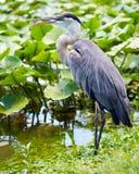 伟大蓝色的苍鹭的巢画象 库存图片