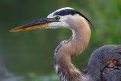 伟大蓝色的苍鹭的巢画象 免版税图库摄影