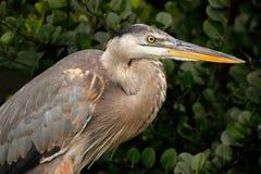 伟大蓝色的苍鹭的巢画象 库存照片