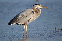 伟大蓝色的苍鹭的巢-迈尔斯堡海滩,佛罗里达 免版税库存图片