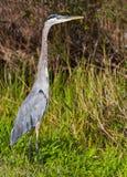 伟大蓝色的苍鹭的巢 免版税库存照片