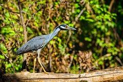 伟大蓝色的苍鹭的巢 库存图片