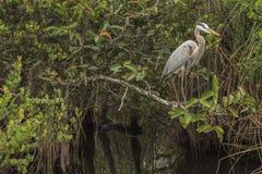 伟大蓝色的苍鹭的巢 免版税图库摄影