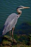 伟大蓝色的苍鹭的巢 免版税库存图片
