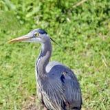 伟大蓝色的苍鹭的巢 图库摄影