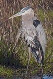 伟大蓝色的苍鹭的巢(Ardea herodias) 免版税库存图片