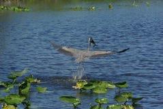 伟大蓝色的苍鹭的巢- Ardea herodias 库存图片