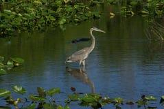 伟大蓝色的苍鹭的巢- Ardea herodias 免版税图库摄影