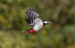 伟大被察觉的啄木鸟, Dendrocopos少校 库存图片
