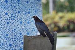 伟大被盯梢的Grackle鸟关闭在巴亚尔塔港墨西哥 免版税图库摄影
