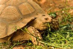 伟大非洲草龟吃 库存照片