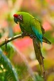 伟大绿的金刚鹦鹉, Ara ambigua 野生稀有人物在自然栖所 绿色大鹦鹉坐分支 从肋前缘Ri的鹦鹉 库存图片