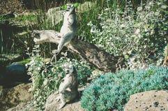 传播手和脚的两只环纹尾的狐猴晒日光浴 库存照片