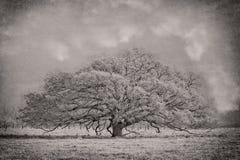传播的南部橡树树 免版税库存照片