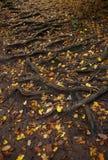 传播的树根系统和下落的叶子在地面上 免版税库存图片