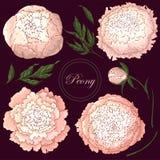 传染媒介牡丹 设置在伯根地背景的被隔绝的浅粉红色的花 花卉装饰的模板,织品设计, 库存例证