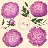 传染媒介牡丹 设置在米黄背景的被隔绝的桃红色丁香花 花卉装饰的模板,织品设计, 皇族释放例证