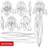 传染媒介设置了与概述虹膜在白色和华丽叶子在黑色隔绝的头状花序、芽 四季不断的植物虹膜图画  向量例证