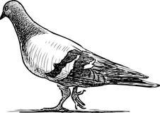 传染媒介draving一只走的鸽子 免版税图库摄影