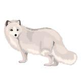 传染媒介例证白狐 免版税库存图片