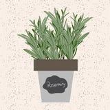传染媒介-在花盆的新鲜的迷迭香草本 芳香叶子用途 库存例证
