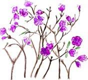 传染媒介水彩紫色拉布拉多茶花 库存图片