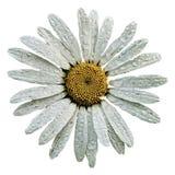 传染媒介春黄菊。 库存照片