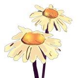 传染媒介春黄菊例证 手拉的春黄菊 免版税库存照片