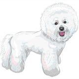 传染媒介白色逗人喜爱的狗Bichon Frise品种 库存图片
