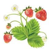 传染媒介草莓 免版税库存照片