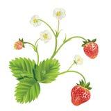 传染媒介草莓 免版税库存图片