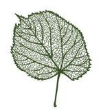 传染媒介菩提树叶子 库存图片