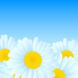 传染媒介雏菊设计。 免版税库存图片
