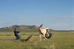 传染性和在蒙古语的Gurvanbulag驯服一匹马 免版税库存照片