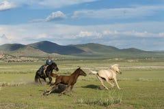 传染性和在蒙古语的Gurvanbulag驯服一匹马 库存图片