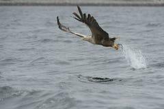 传染性的老鹰牺牲者 库存照片