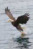 传染性的老鹰鱼 免版税库存照片
