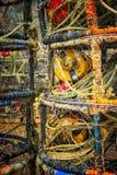 传染性的螃蟹,俄勒冈海岸 免版税库存照片